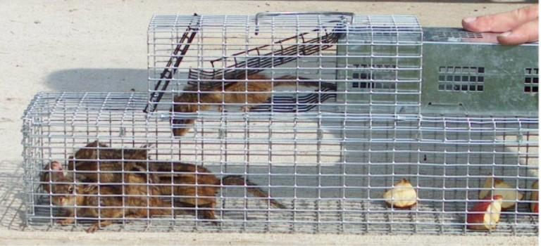 chipmuncks in cage