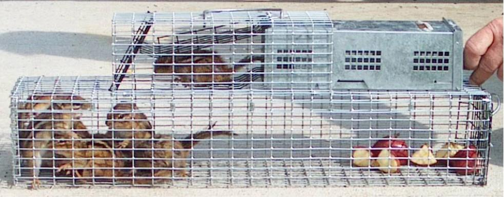 chipmunks, cage, apples